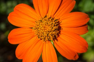 Order Mexican Sunflower Seeds