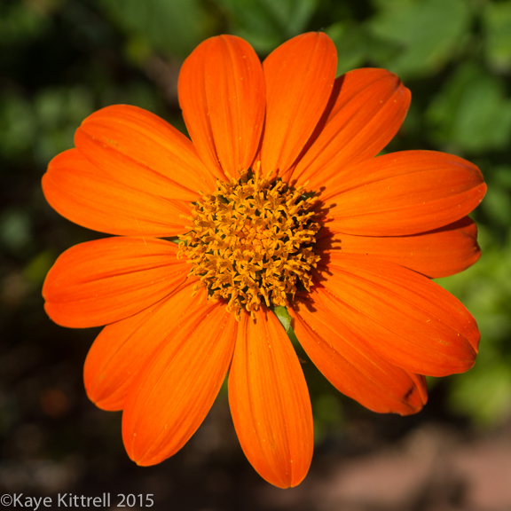 "Mexican Sunflower ""Torch"" Seeds"