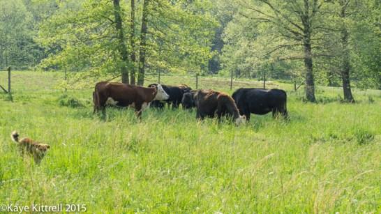 Late Bloomer Interviews Barefoot Farmer - cattle