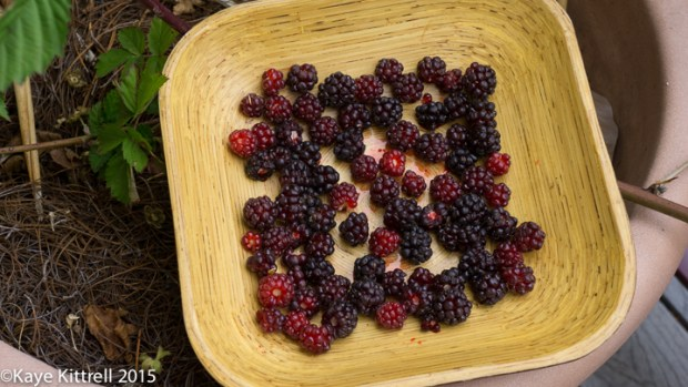 Boysenberry, so Precious so Rare! - bowl of berries