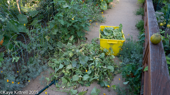 Cutting my losses with melons and beans - vines