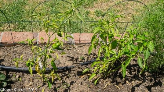 Top 5 Late Bloomer Lessons! - sickly peppers