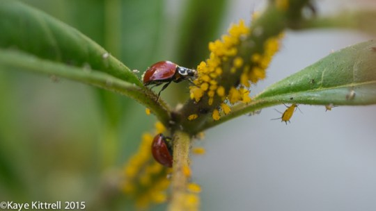 Top 5 Late Bloomer Lessons! - lady beetles-aphids