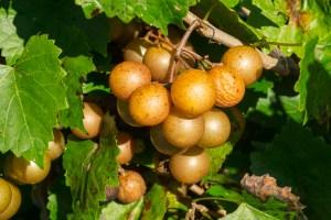 On the Road: Muscadine Harvest