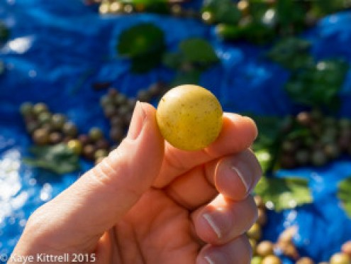 Files from the Road: Muscadine Harvest - muscadine grape