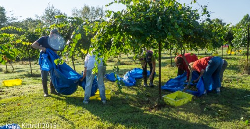 Files from the Road: Muscadine Harvest - Cheerful helpers