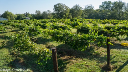 Files from the Road: Muscadine Harvest - one acre of vines