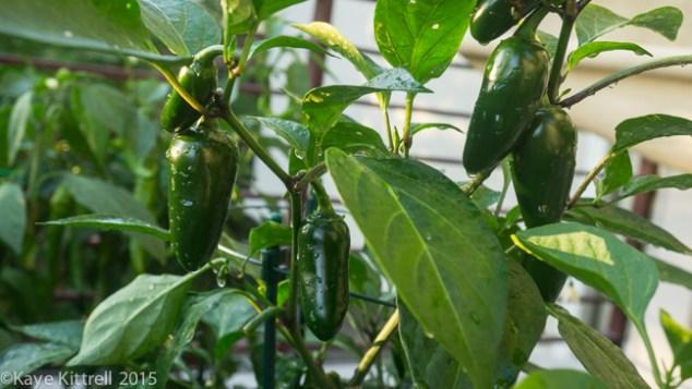 My Slice of Pepper Heaven - Jalapeño