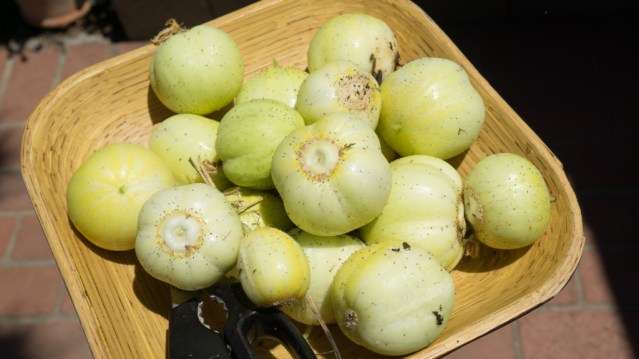August Harvest & Issues - 2 Episodes! - lemon cucumber