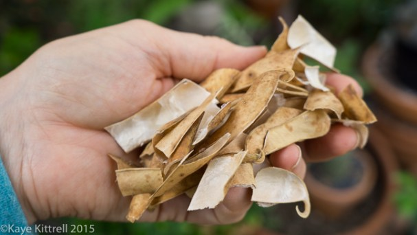 Supreme Scarlet Emperor Beans - pods for compost