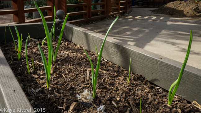 Growing Garlic - Here we go again! - sprouts