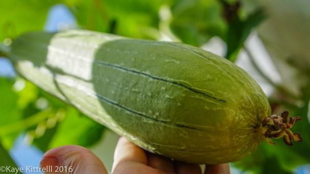 Growing Loofah, a Race to the Top - loofah
