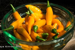 Growing Orange Thai Chili Peppers