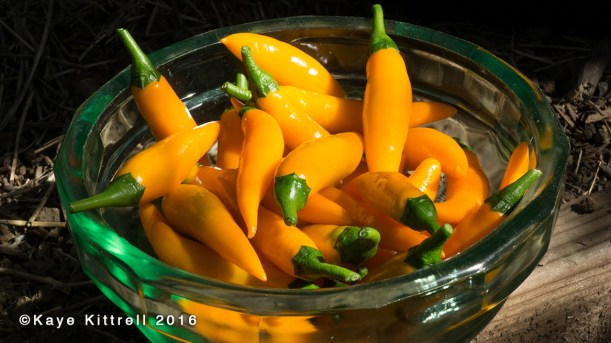 Growing Orange Thai Peppers - bowl of peppers