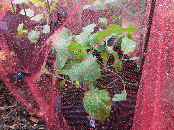 Enough Rain Already! (Did I Just Say That?) - brassicas under voile