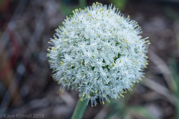 plant flowers, attract beneficial insects - Shallot