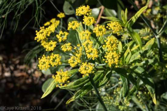 plant flowers, attract beneficial insects - fennel