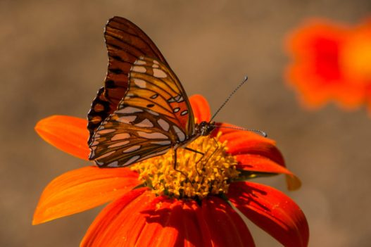 plant flowers, attract beneficial insects - fritillary