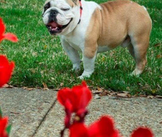 Tech finds new bulldog for mascot