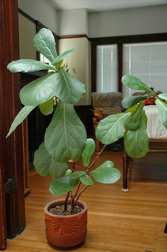 Plante Interieur Grande Feuille Latelier Des Fleurs