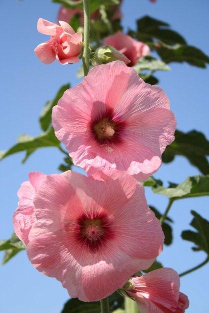 Hollyhock - Althaea rosea