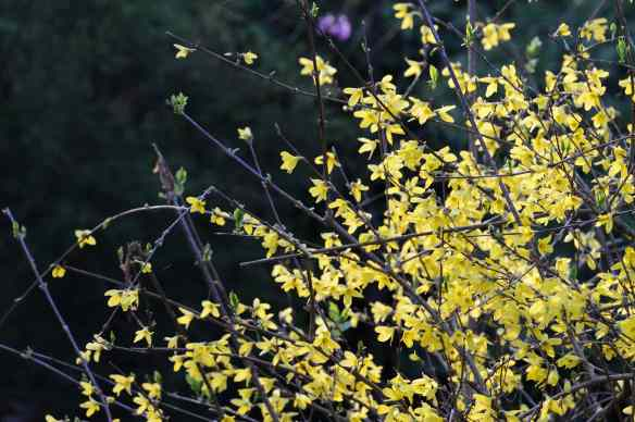 Spring and forsythia in Georgia