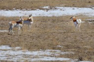 Pronghorns in northeastern Colorado. These animals are reputed to be the fastest animals in North America, easily outrunning any natural predators.