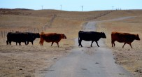 In the open range country, cattle claim the right of way. They are heading for food and water.