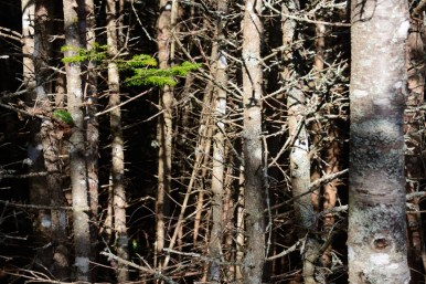 Dense spruce forest along Maine coast.