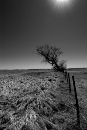 A lone tree along a fence in the sandhill region of west central Nebraska.