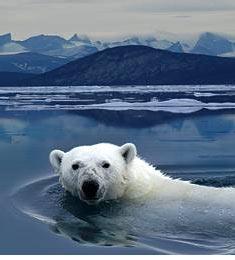 arctique-ours