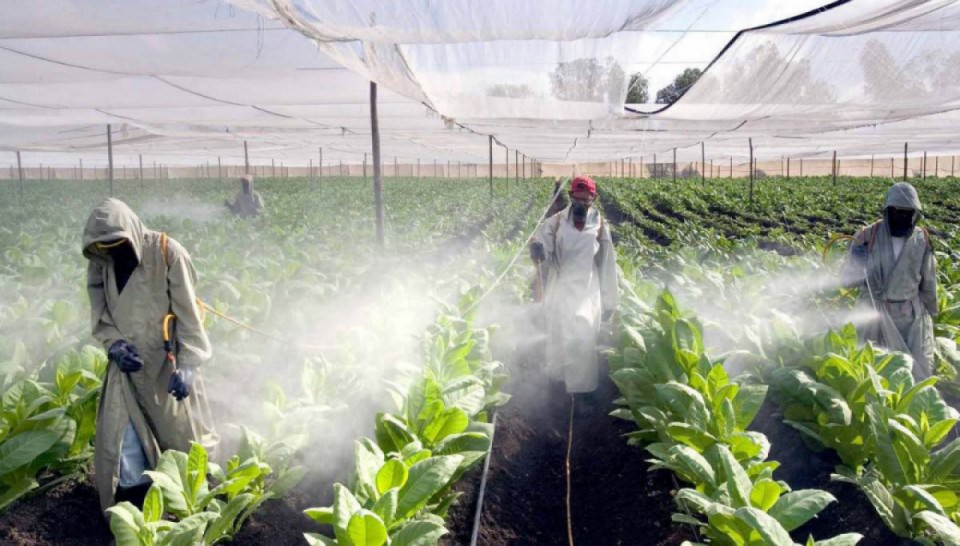 Pulvérisation de pesticides dans une serre au Nicaragua