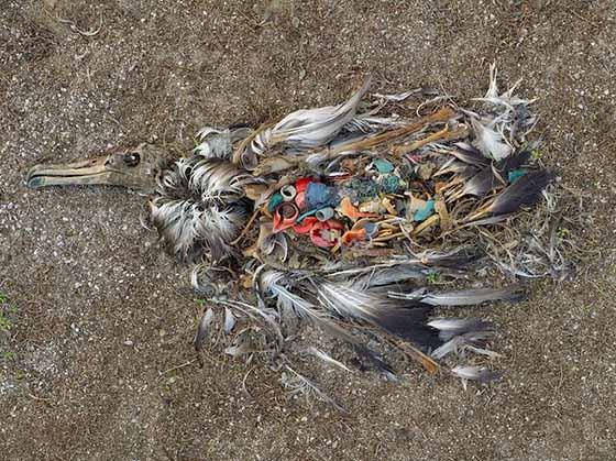 albatros-mort-plastique