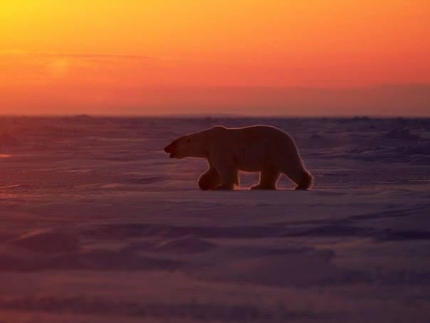 ours-blanc-coucher-de-soleil5