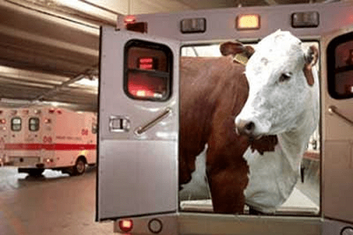 Cow in Ambulance