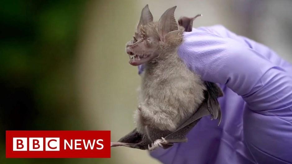 Coronavirus: Searching for viruses in Thai bats – BBC Information