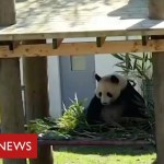 Coronavirus: it's social distancing for the pandas and chimps at Edinburgh Zoo – BBC Information