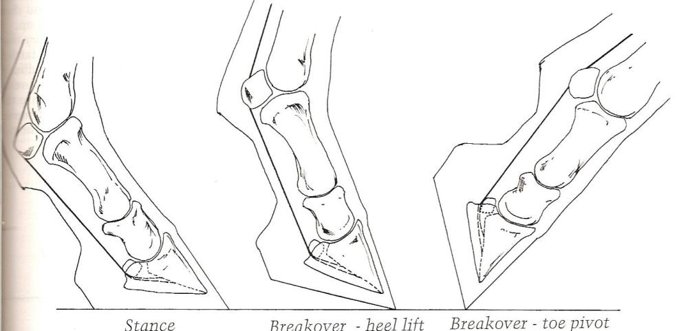 medium resolution of to avoid these problems the foot must be trimmed and shod to create a correct breakover point