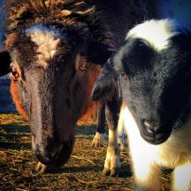 Dorper Ewe and Lamb