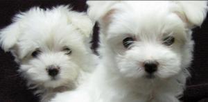cuccioli-maltese-latina-24ore-897902333