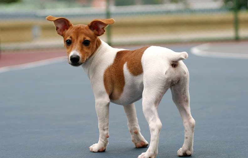 cane-jack-russell