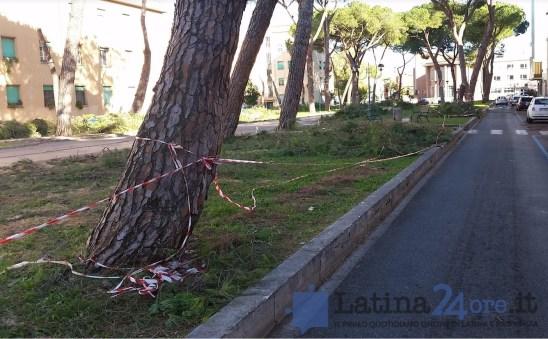 latina-viale-italia-alberi-tagliati-6
