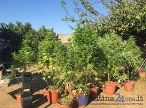 piante-marijuana-latina