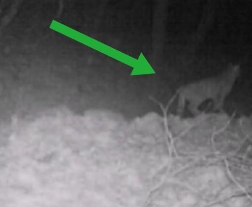gatto-selvatico-aurunci