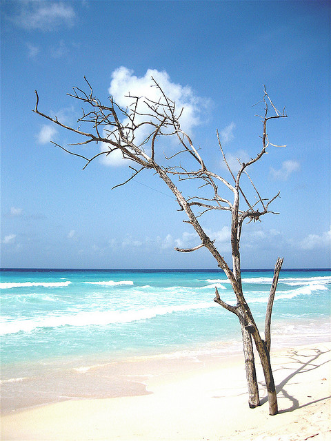 Barbados beach, unknown dead tree