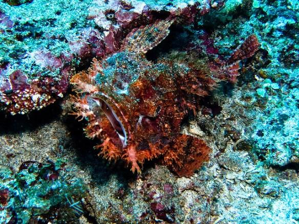diving in Nusa Penida, scorpion fish