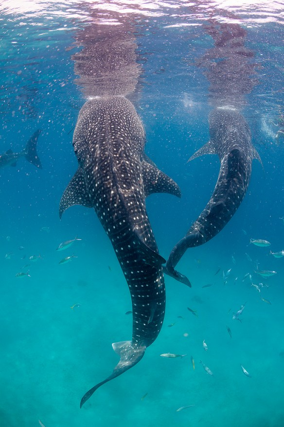 whale sharks, Mexico attractions