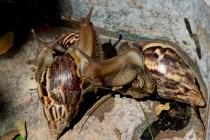 Cuba Battles Plague of Giant Snails