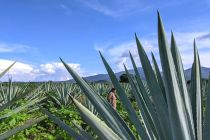 Mezcal: From Farms To Bars (A Latino USA Podcast)
