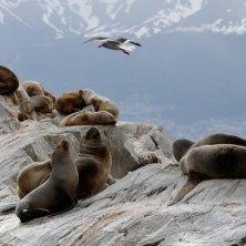 leoni marini canale di Beagle